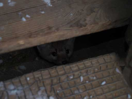 An American marten poking through the floor