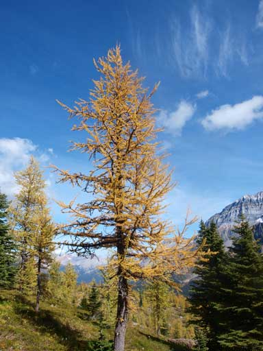 Another larch