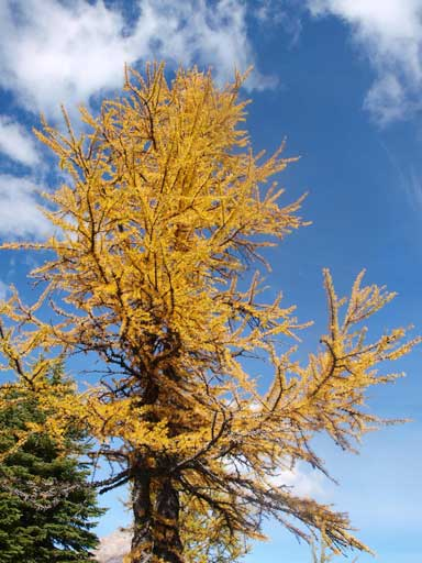 The lower you go, the yellower the larches are