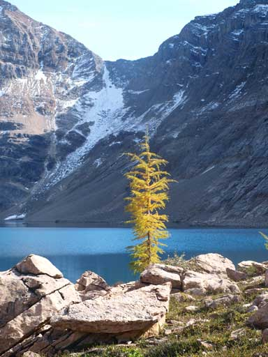 A lone larch