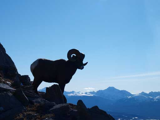 This bighorn sheep surprised me since I couldn't see it while approaching