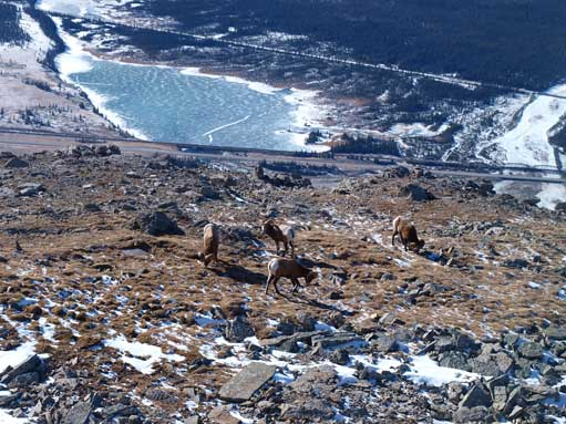Looking back at this group of bighorn sheep, with a frozen lake way down on the valley floor.