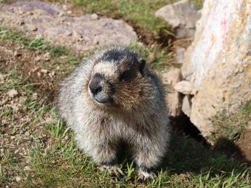 Lovely marmot