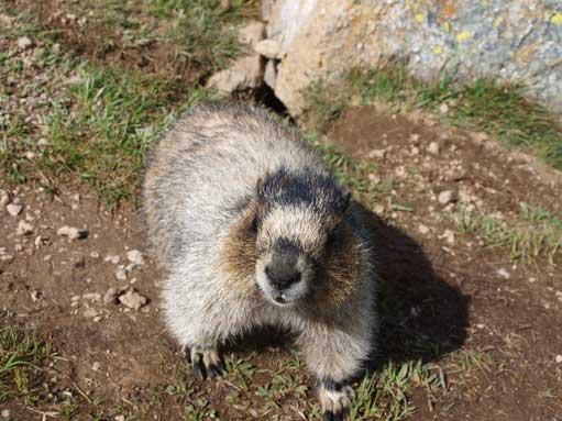The same marmot