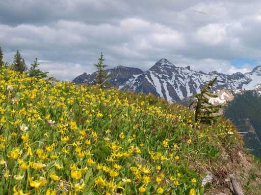 Glacier lily field