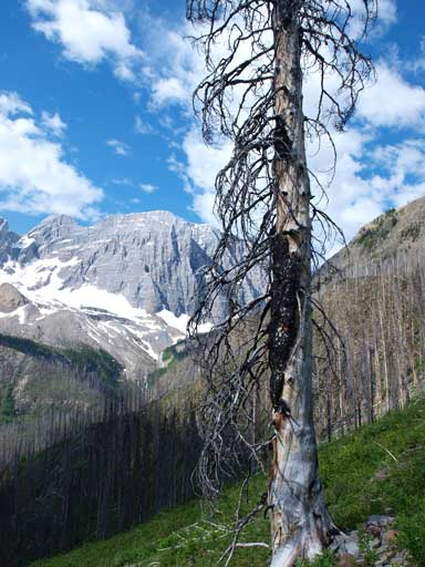 A lone burnt tree on this giant avalanche slope.