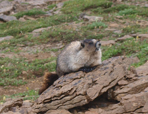 Many marmots around
