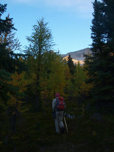 """Bushwhacking"" in larch forest"
