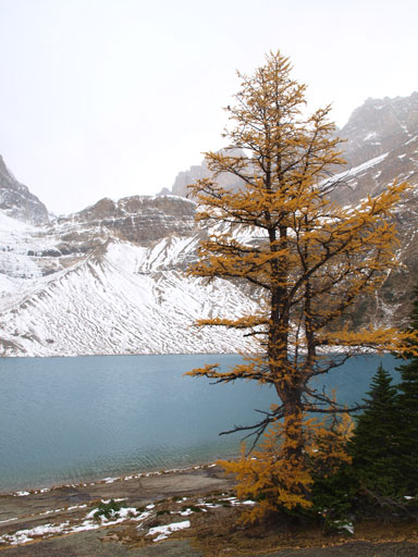 A lone larch and Zigadenus Lake