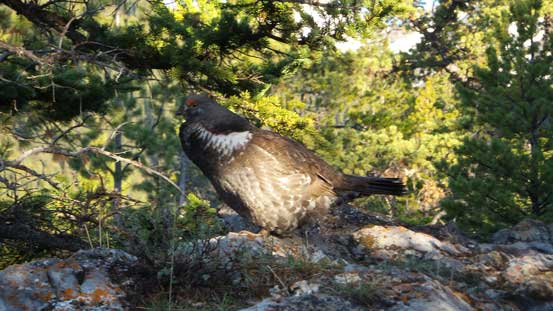 A grouse. There were many of those making strange sounds