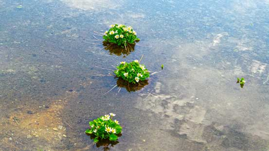 Flowers growing in the shallow water