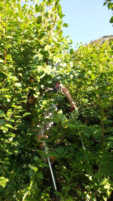Bashing through alders...