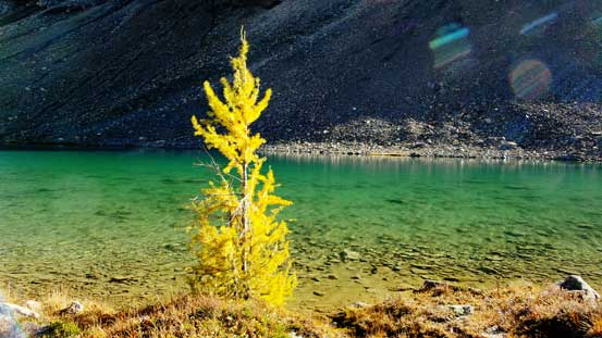 A lone larch on the lakeshore of lower Fish Lake