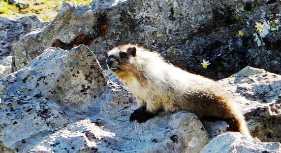 A lovely marmot