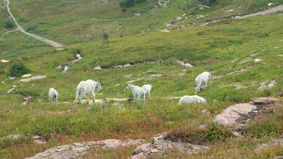 A group of sheep near the climber's trail