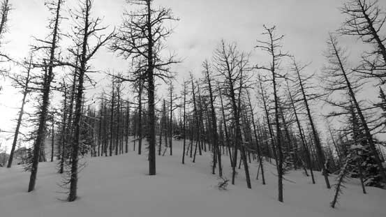 Travelling through a larch forest