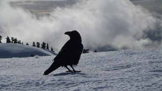A fat raven on the summit bagging food...