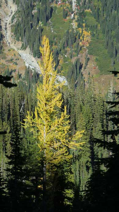 Another lone larch..