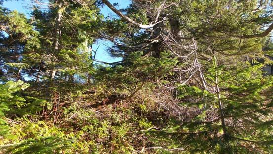 An idea of the typical bush along the ridge.
